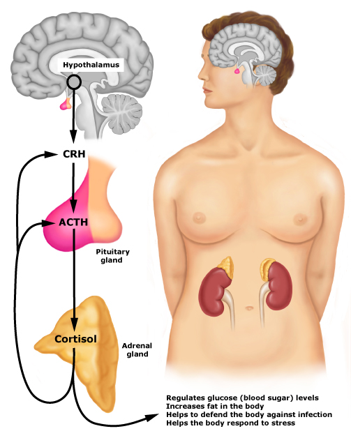 The hypothalamic-pituitary-adrenal axis