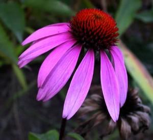 Echinacea spp